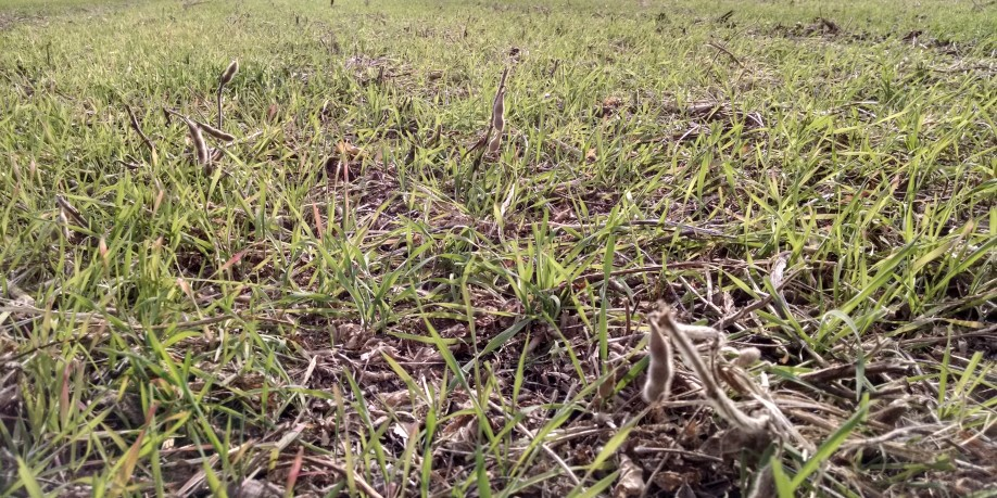 Rye Cover Crop