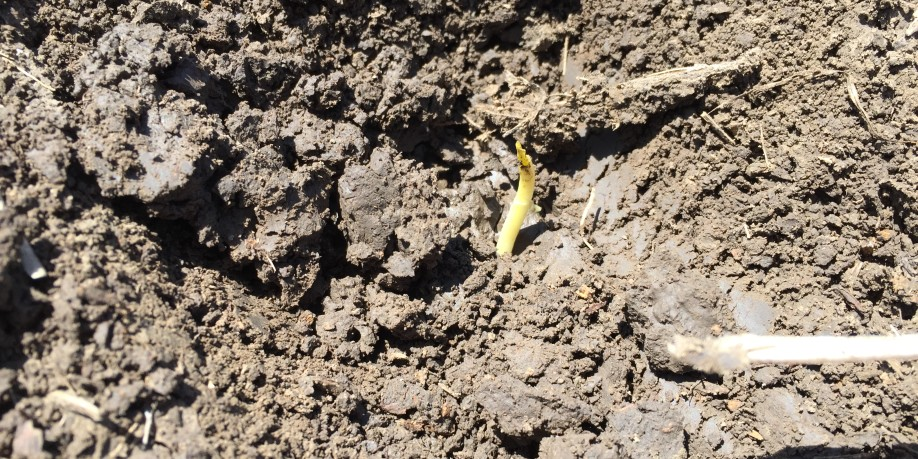 Dug up corn plant that hasn't emerged.